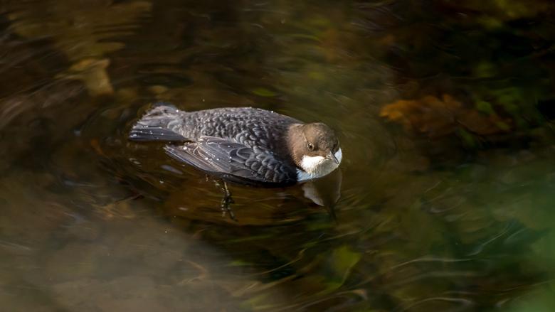 waterspreeuw -