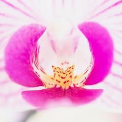 orchideehartje