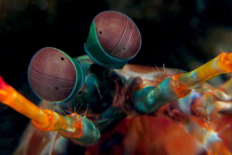 Mantis Shrimp - Close-up van de ogen van een Mantis garnaal