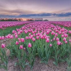 Zonsondergang bij een tulpenveldje...