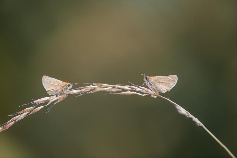 Duo Dikkopjes - Twee dikkopjes in de vroege ochtend op een gebogen grasspriet