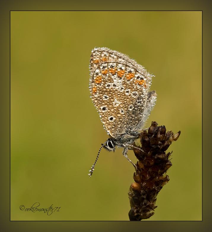 Dauwdruppels - Vandaag nog maar eens een icarusblauwtje bedekt met dauwdruppels. Misschien dat het eentonig wordt, maar zelf geniet ik van dit soort m