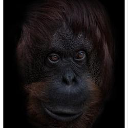 Dark Animal Portraits: Silva