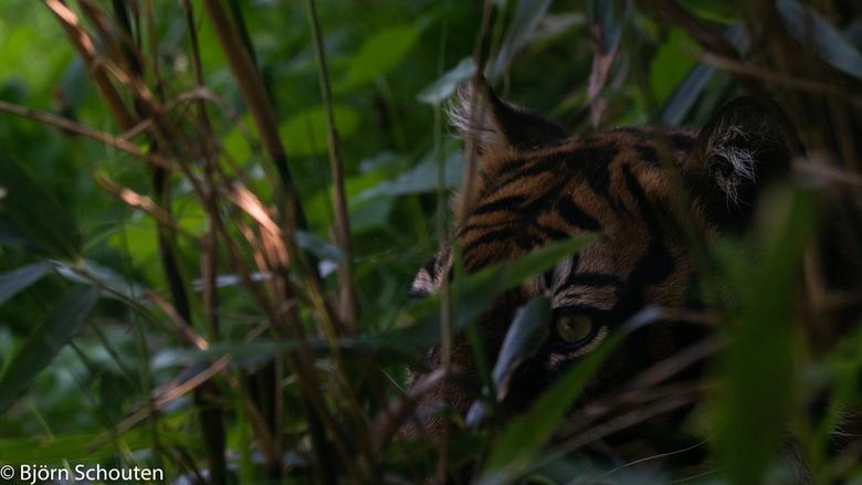 Tijger doet verstoppertje  - De tijger is aan het verstoppen <br /> Of is hij aan het Jager