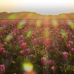 texel tulp en zon