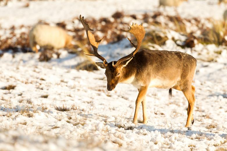Winter in de zilkerduinen - Winter in de zilkerduinen maakt het de herten moeilijk om eten te zoeken