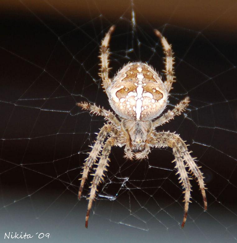 Spinnetje - Dit spinnetje is de eigen naar van mijn vorige upload. <br /> <br /> groetjes Nikiet