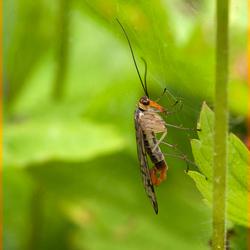 Schorpioenvlieg op een web