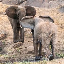 drijgende_olifanten