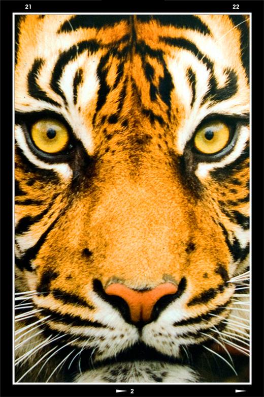 Zoo 8 - Kracht en schoonheid wordt in het dierenrijk vaak erg fraai gevisualiseerd door knallende kleuren en fraaie tekening. Zo zag ook bij deze tijg