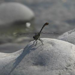 Libelle aan de oever van de rivier