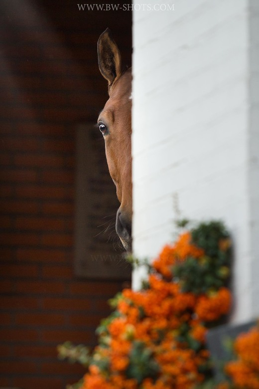 paard -