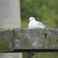 Meeuw op nest