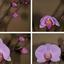 Geboorte Orchidee