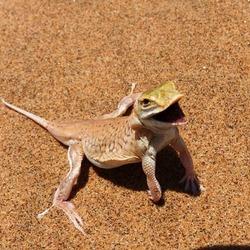 Lizard in the sand