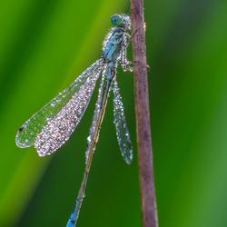 waterjuffer droogt zijn vleugels
