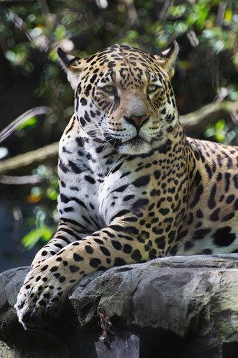 Jaguar Rica - Artis Amsterdam Jaguar Rica