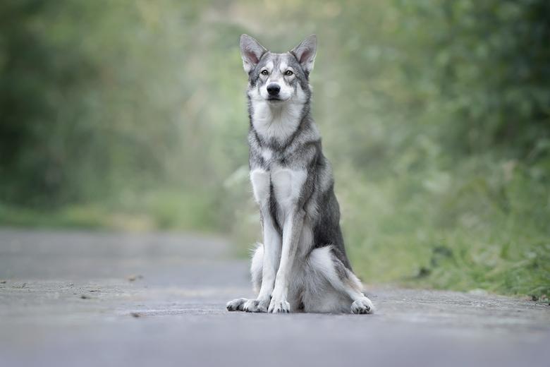 Yiska... - Precies een jaar geleden fotografeerde ik Saarloos wolfhond Yiska voor het eerst, toen een pup van 9 weken. Nu een jaar later zit hier een