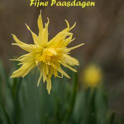Fijne Pasen..............Narcis