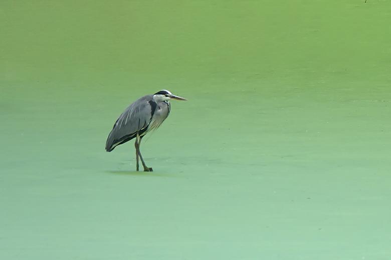 GREEN WATERS - Groene algen op het water maken de reigers het moeilijk om eten te vinden maar leverde wel een uitzonderlijk beeld op.