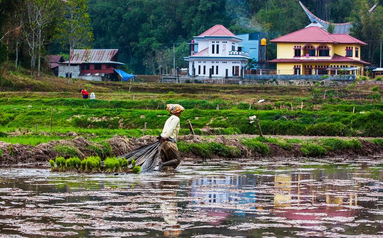Work of reality - Voor natte rijstbouw worden dichtbezaaide kweekbedden aangelegd, van waaruit de bibit (de kiemplanten) na 1 of 2 maanden wordt overg