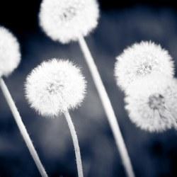 Dandelion Fluffs