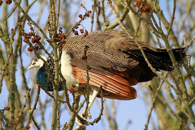 Vreemde vogel !! - Ik kwam deze tegen in de Alblasserwaard, daar waar je hem niet verwacht, maar hoorde van Anja dat daar een kinderboederij in de buu