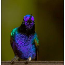 Witstaarthoornkolibrie