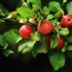 Herfst appeltjes