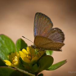 Amethistblauwtje (2)