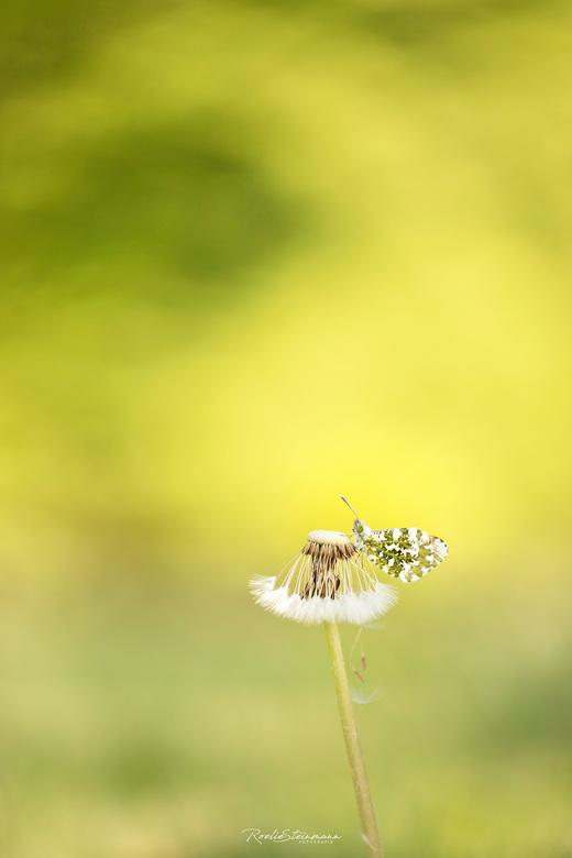 Mellow yellow - Het is weer vlinder tijd! Twee weken terug hebben we ons heerlijk vermaakt met deze nog rustige oranjetipjes. Een veld vol met pinkste