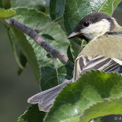 Koolmees (Parus major)