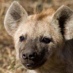 Hyenapup