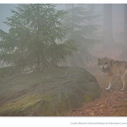 Wolf in the mist