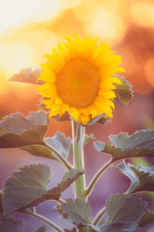 Last Light - Een prachtige zonnenbloem in het laatste avondlicht...