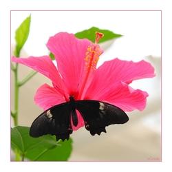 Hibiscus met vlinder