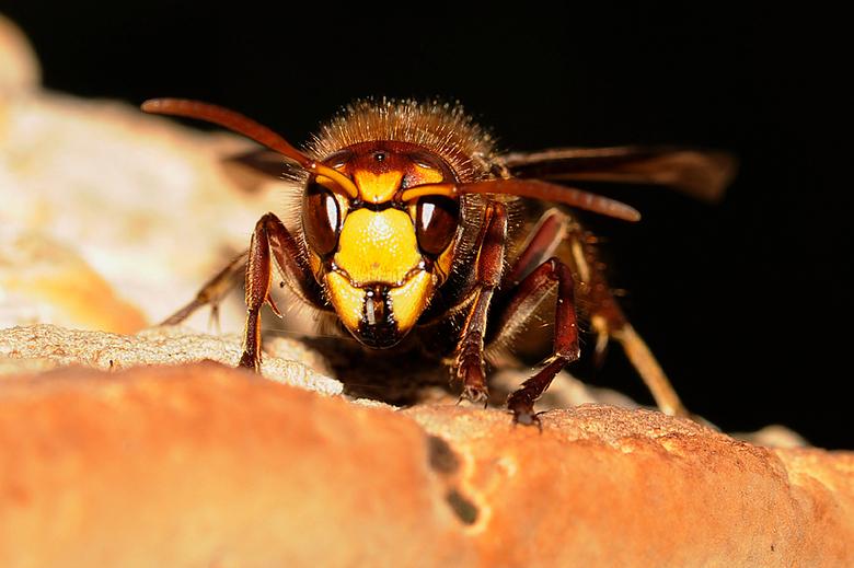 oog in oog met een hoornaar - Tijdens een wandeling het nest van een hoornaar gezien. De beestjes waren nog redelijk actief door het mooie weer. Deze