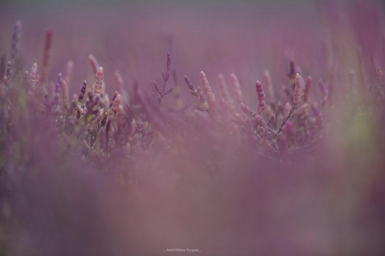Purple world - Zeekraal in bloei. Nationaal Park Oosterschelde.