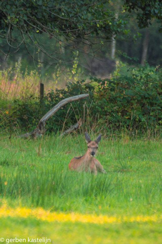 edelhertkalfje in het gras - kalfje ligt lekker uit te rusten in het gras