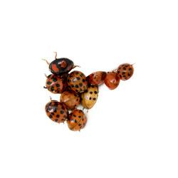 Lieveheersbeetjes