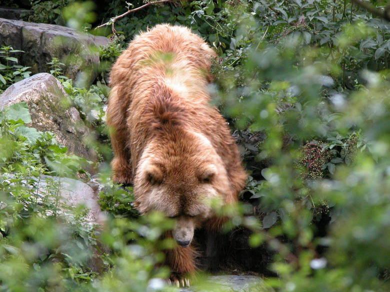 Bruine beer - Op zijn gemak klimt de bruine beer naar beneden.
