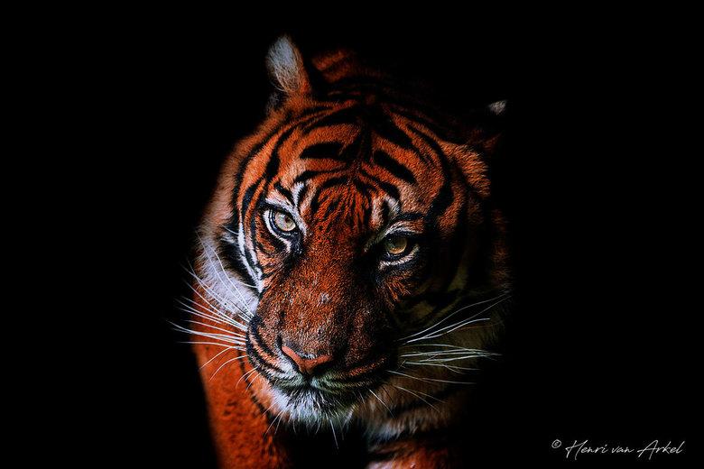 Sumatraanse Tijger -
