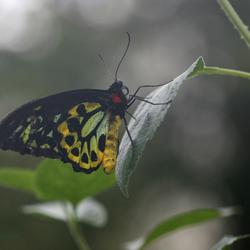 gouden vogel vlinder