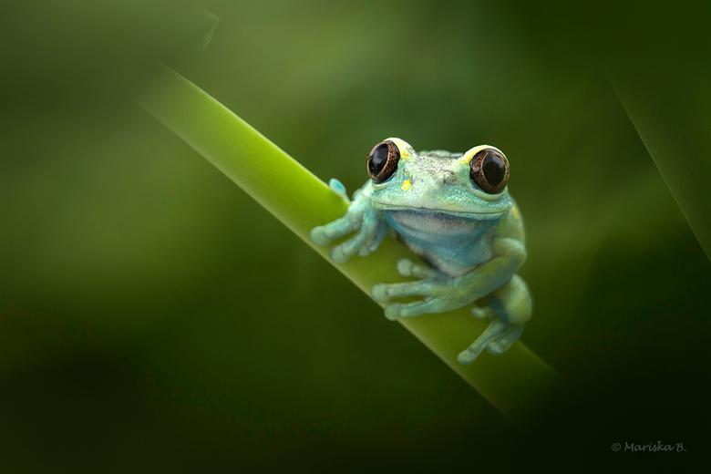 ruby-eyed tree frog