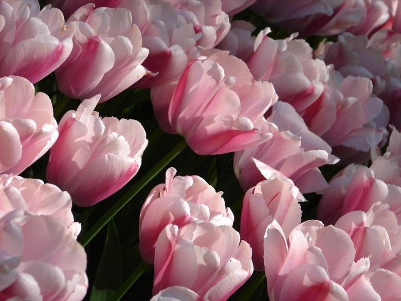 roze tulp - roze tulp Keukenhof