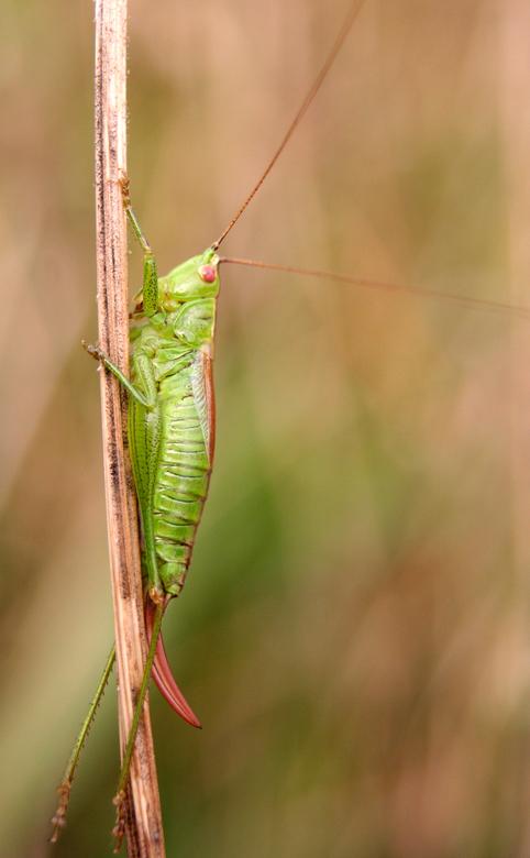 Groene krekel macro foto van saskiab zoom groene krekel altavistaventures Images