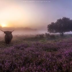 Schotse hooglander in de mist