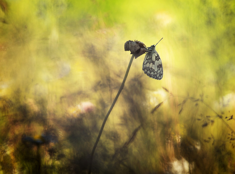 Nature's art - Spelen met een vlinder (Dambordje), licht en vegetatie. Dank voor jullie reactie's op 'Transformation'. Groet Arjo.