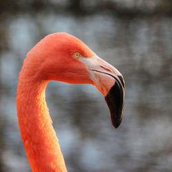 2. Kop met snavel flaming0,