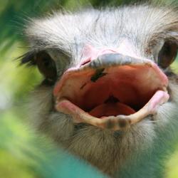 Struisvogel in Maleisië
